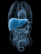 organe mit markierter leber