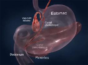 pancreas_2-2