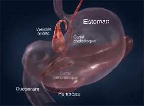 pancreas_2-3
